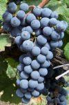 Organska proizvodnja grozdja